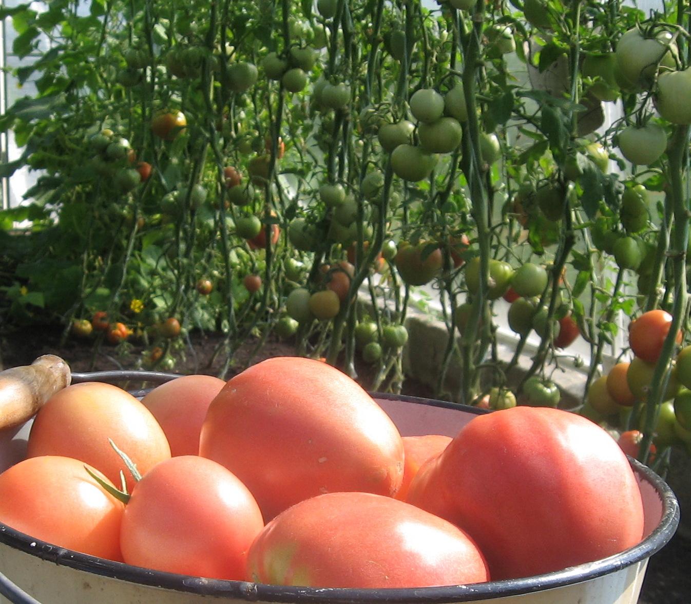 Выращивание томатов в теплице зимой 5