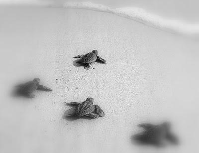 [Resim: denizkaplumbaga9.jpg]