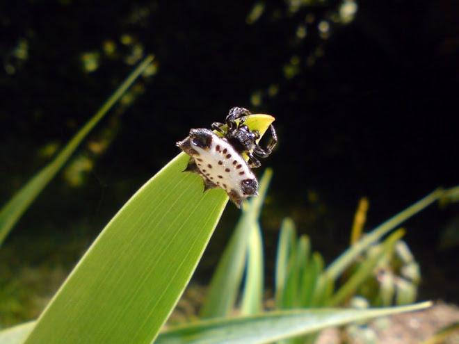 Pequena aranha cascuda