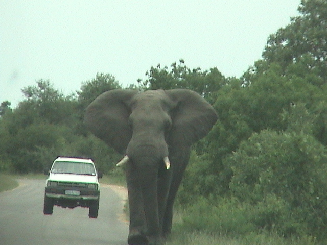 [elephant+walking+toward+us]