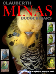 FOTOS DE PERIQUITOS DO CRIADOURO MINAS BUDGERIGARS