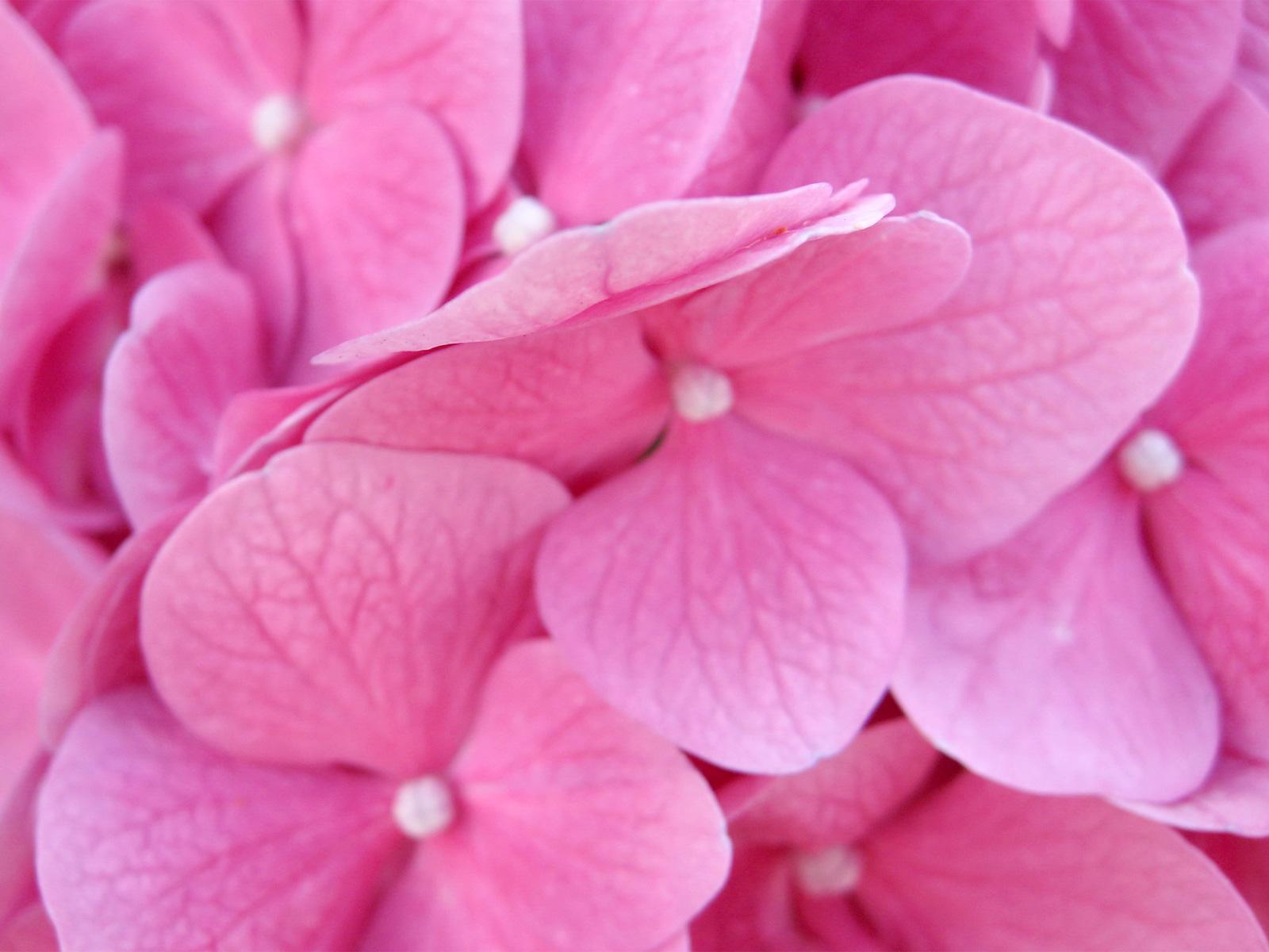 http://4.bp.blogspot.com/_AZ-pi-pN11Y/TKLInGVhroI/AAAAAAAAABc/byzlIY8I-vw/s1600/Pink_Hydrangea_Flower.jpg