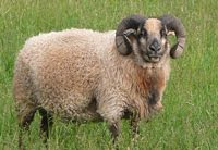 Rams, Ewes and Lambs for Sale
