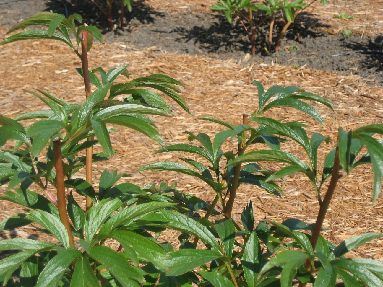 new peony plant at peony farm - How To Cut Peonies
