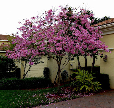 All the latest dirt pink tabebuia pink tabebuia this beautiful flowering tree mightylinksfo