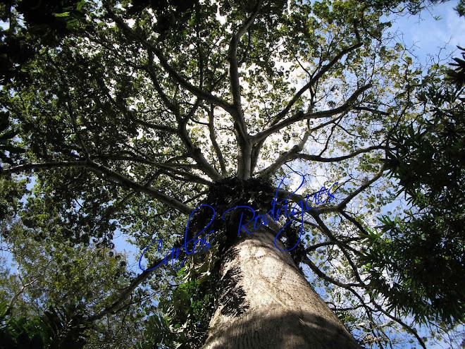 A Maior Árvore do Museu Paraense Emílio Goeldi