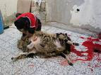 Lamb Sacrifice , click for more photos of Aid Al-Kabir