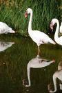 CLICK for more lesser flamingo