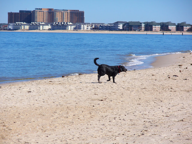 Black lab at Chick's Beach, Virginia Beach - Feb. 2010