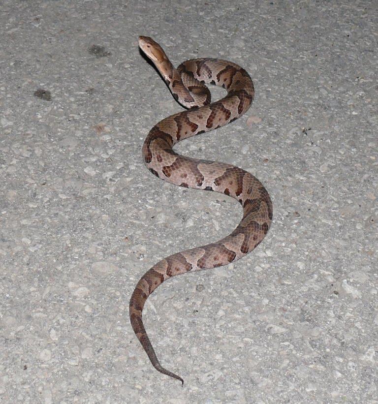 poisonous snakes essay