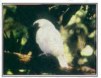 Pájaro campana