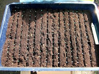 passion tomates quelques semis et plantation ce jour. Black Bedroom Furniture Sets. Home Design Ideas
