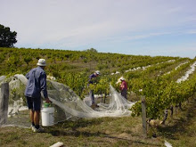 Hand-picking the (young) shiraz