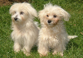 Two Maltese puppies sitting in garden sexy photo