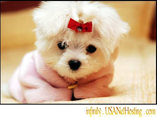 Very cute and funny looking Maltese breed dog wearing a shirt or cloth hot hq(hd) wallpaper