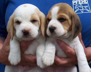 A woman(girl) holding two Beagle puppies in her hand sexy pic