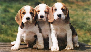 3 Beagles puppies looking hungry sad hot picture