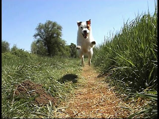 Jack Russell Terrier jumping for long jump in fields photo