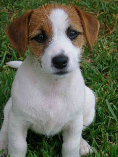White and brown Jack Russell Terrier puppy innocent looks in the garden grass hot hq(hd) wallpaper