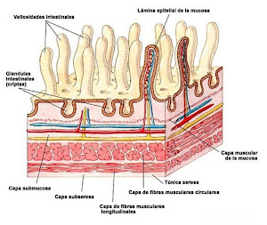 vellosidades que recubren el intestino delgado