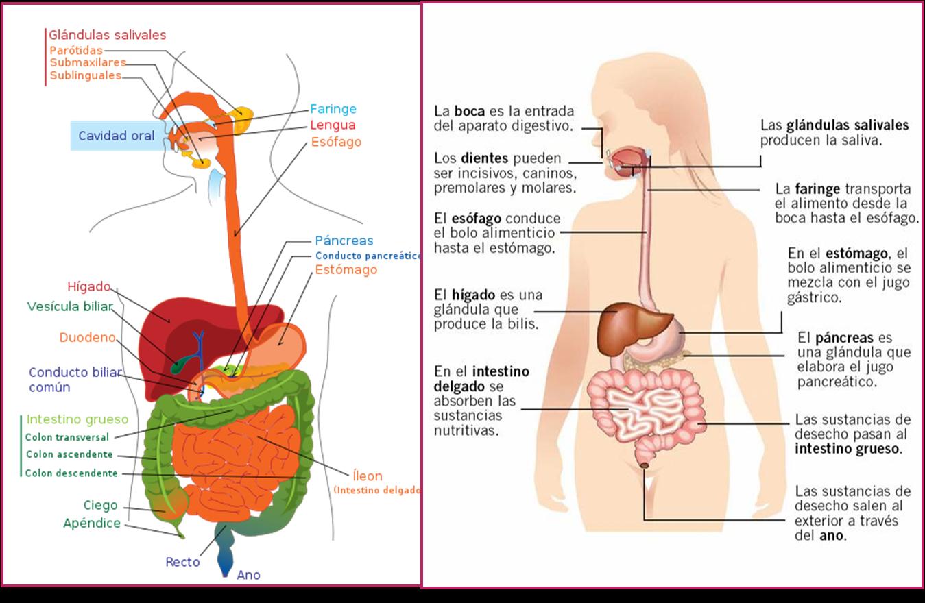 digestion de los lipido: