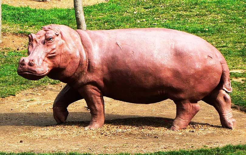 hipopotamo hipopotam hippopotamus animal parc parque zoo zoologico zoologic terrassa vallparadis