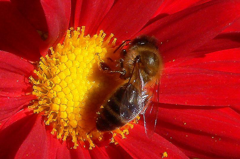 pol·linització polinización polen flor abella abeja vermell rojo red groc amarillo yellow flower pollination bee