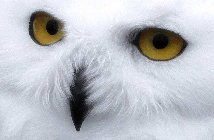 mussol buho olw oliva blanca blanc blanco white neu nieve snow ulls ojos eyes