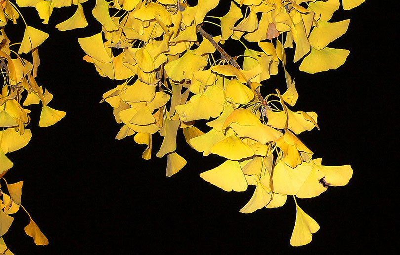 ginkgo biloba arbol arbre tree china xina fulles hojas
