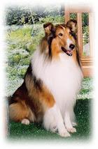 Cão da raça Collie