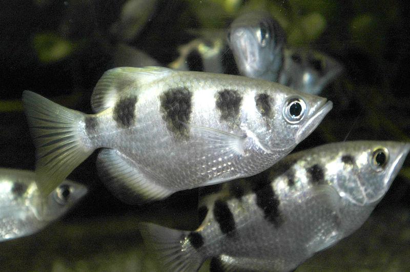 Animal Picture: Archer Fish