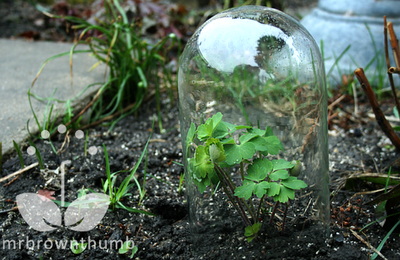 how to make a garden cloche from repurposed glass