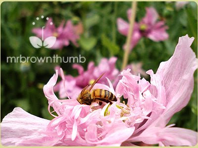 honey bee collecting pollen from pink double poppy