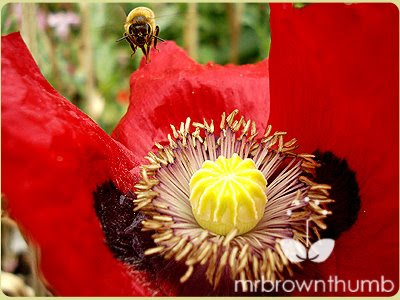 honey bee landing on red poppy