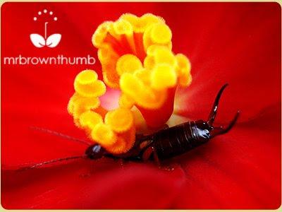 Earwig hiding in a begonia