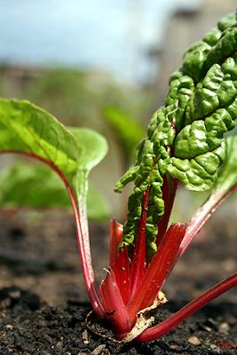 Rhubarb at Ginkgo Organic Community Garden