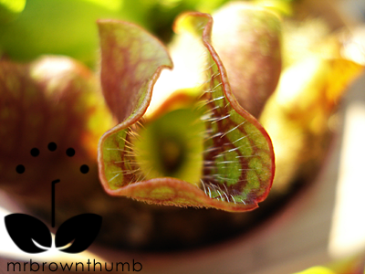 Carnivorous Pitcher Plant pitcher opening