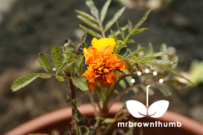 How to save seeds from Marigold flowers