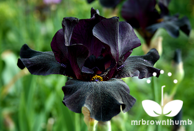 Black Bearded Iris flower