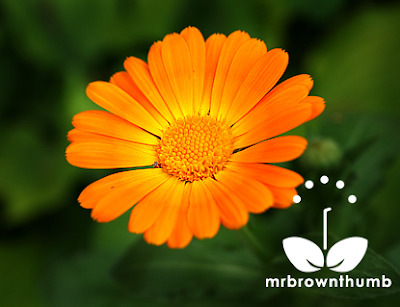 Orange Calendula flower, How to collect calendula seeds