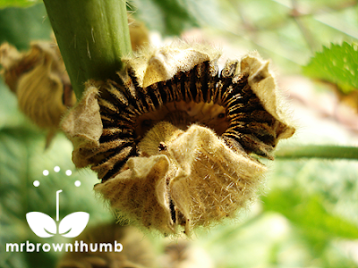 Ripe hollyhock seed pod, how to collect hollyhock seeds