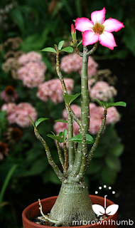 flowering desert rose plant, Adenium Obesum