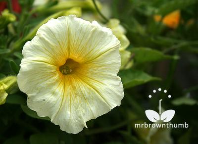 Petunia Sun Spun Yellow, Ball Horticultural Company