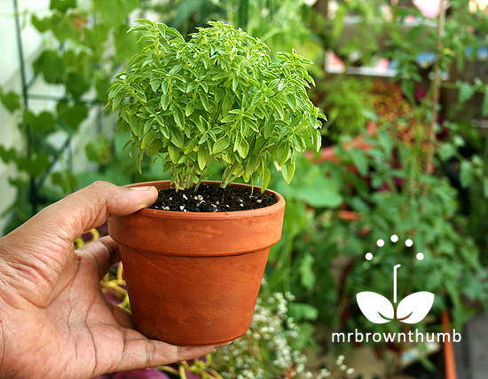 growing basil mini windowbox mrbrownthumb. Black Bedroom Furniture Sets. Home Design Ideas