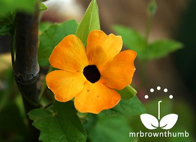 Black-Eyed Susan Vine Flowers, thunbergia alata plant, images Thunbergia alata
