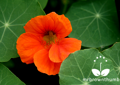 Nasturtium Spitfire, red Nasturtium bloom