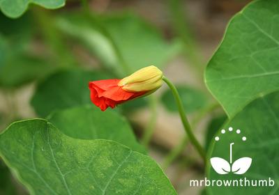 Nasturtium Spitfire Flower bud, climbing nasturtium