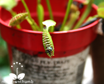 Fly escapes from inside Venus Flytrap, Venus Flytrap care