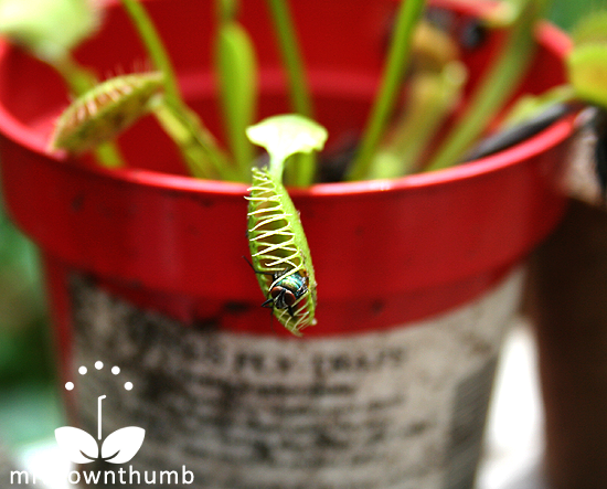how to care for a venus fly trap indoors