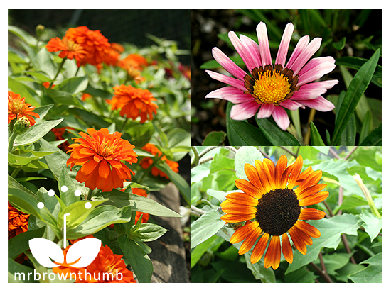 Compositae(Asteraceae)Family,Zinnia, Sunflower, Gaznia